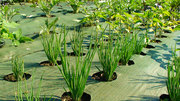 Get Landscape Fabric for Weed control